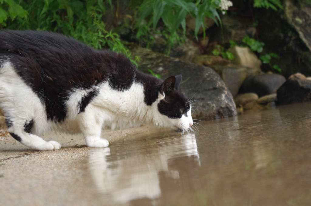 cat drinking from lake
