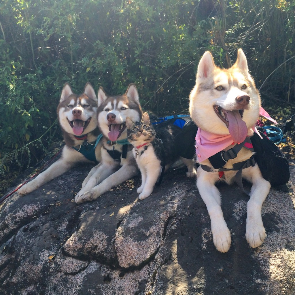 Rosie the cat with husky pack