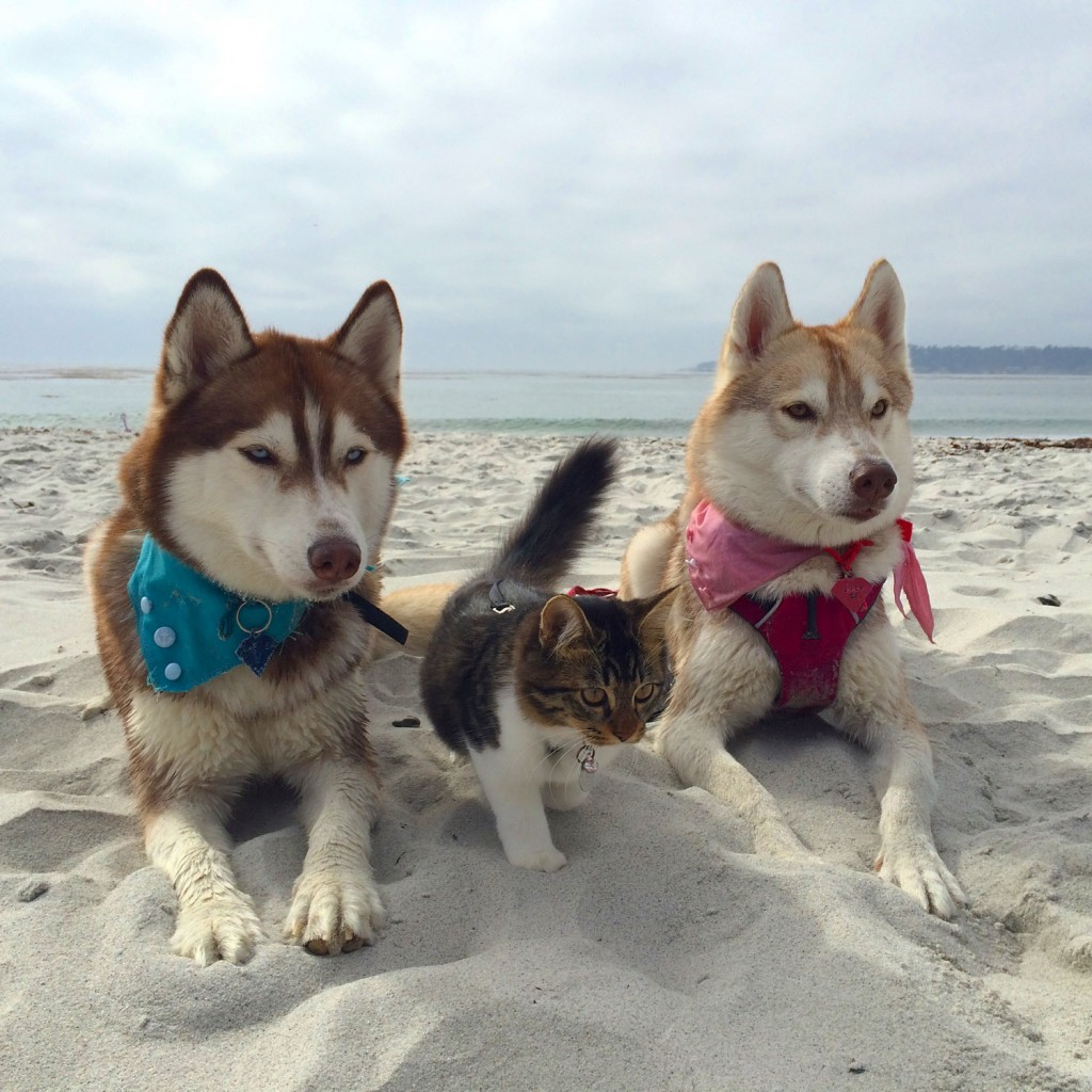 cat and huskies at the beach