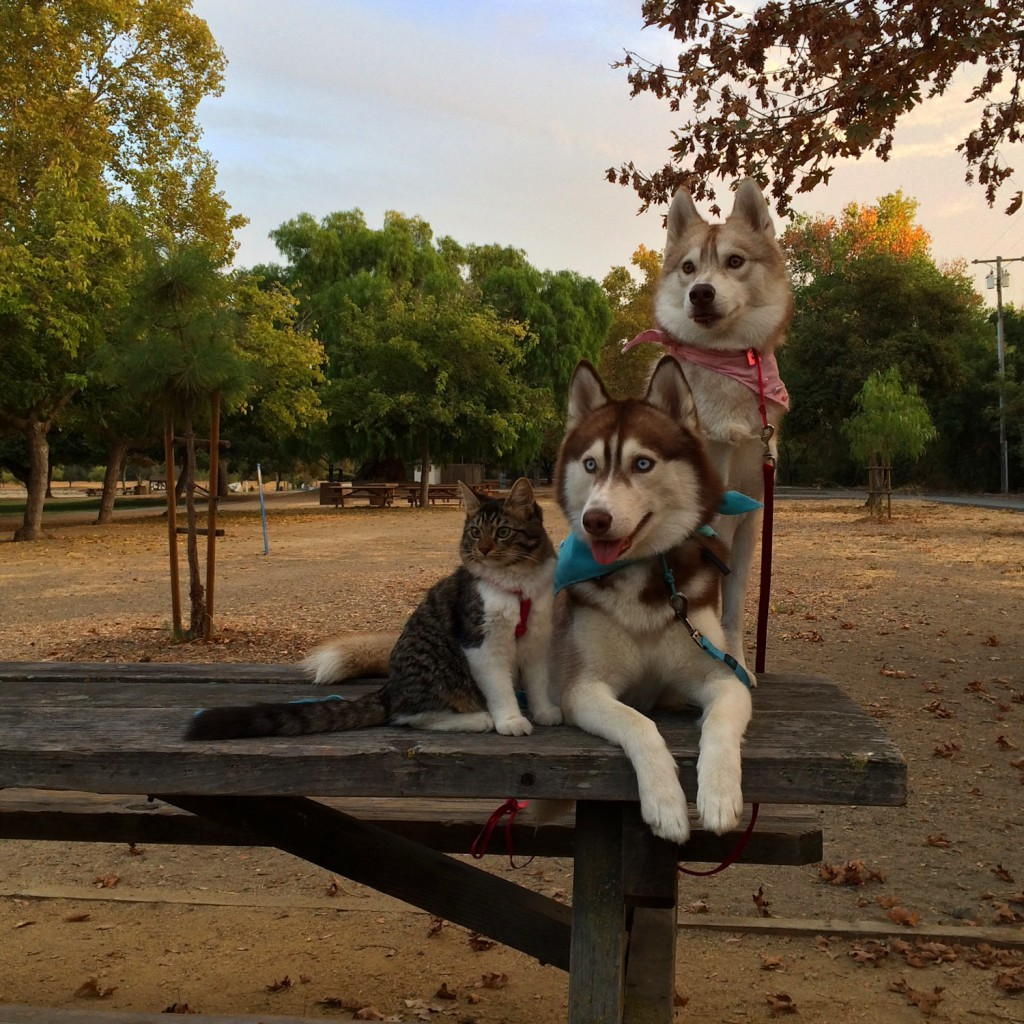 cat with two huskies
