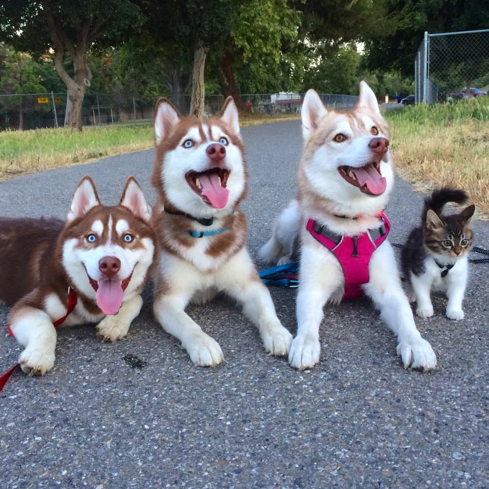 Rosie the kitten with husky pals