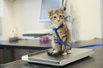 kitten wearing leash at vet