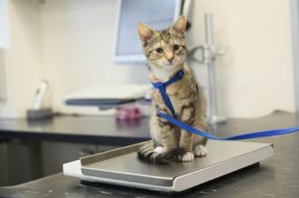 kitten wearing leash at vet