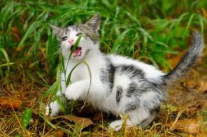 Kitten eats grass in yard