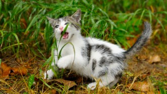 Kitten eats grass in yard