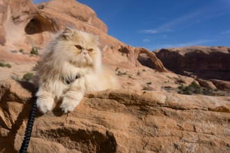 Floyd the lion Persian cat