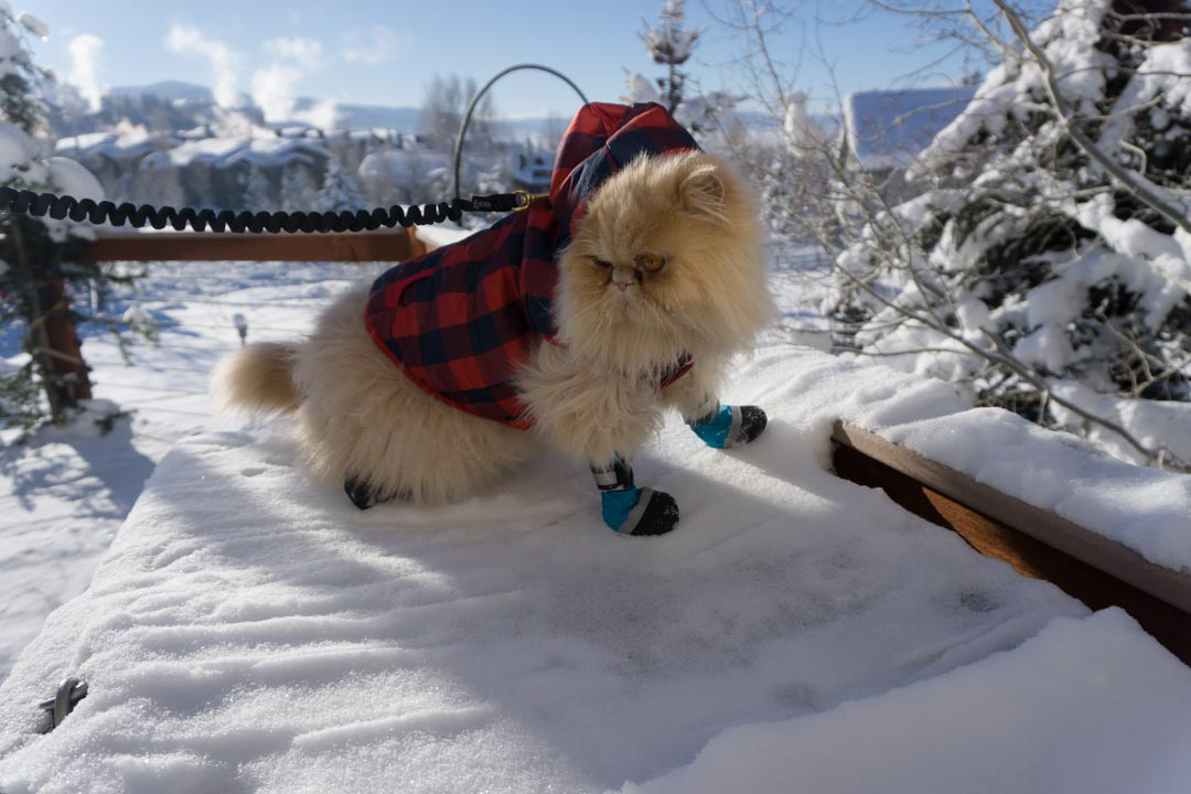 cat wearing snow booties