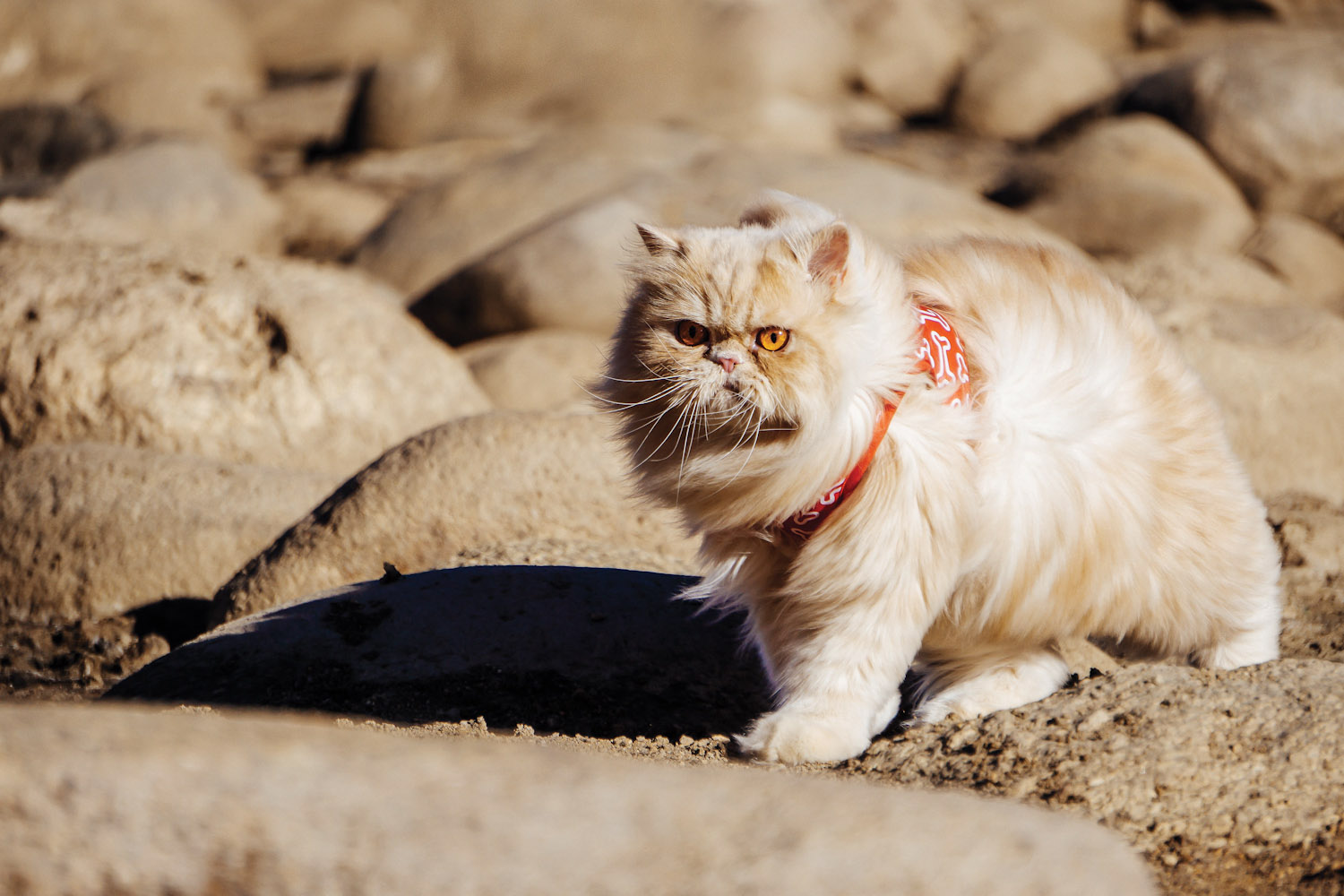 Persian cat hiking