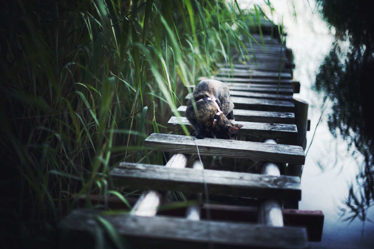 cat looking through boardwalk