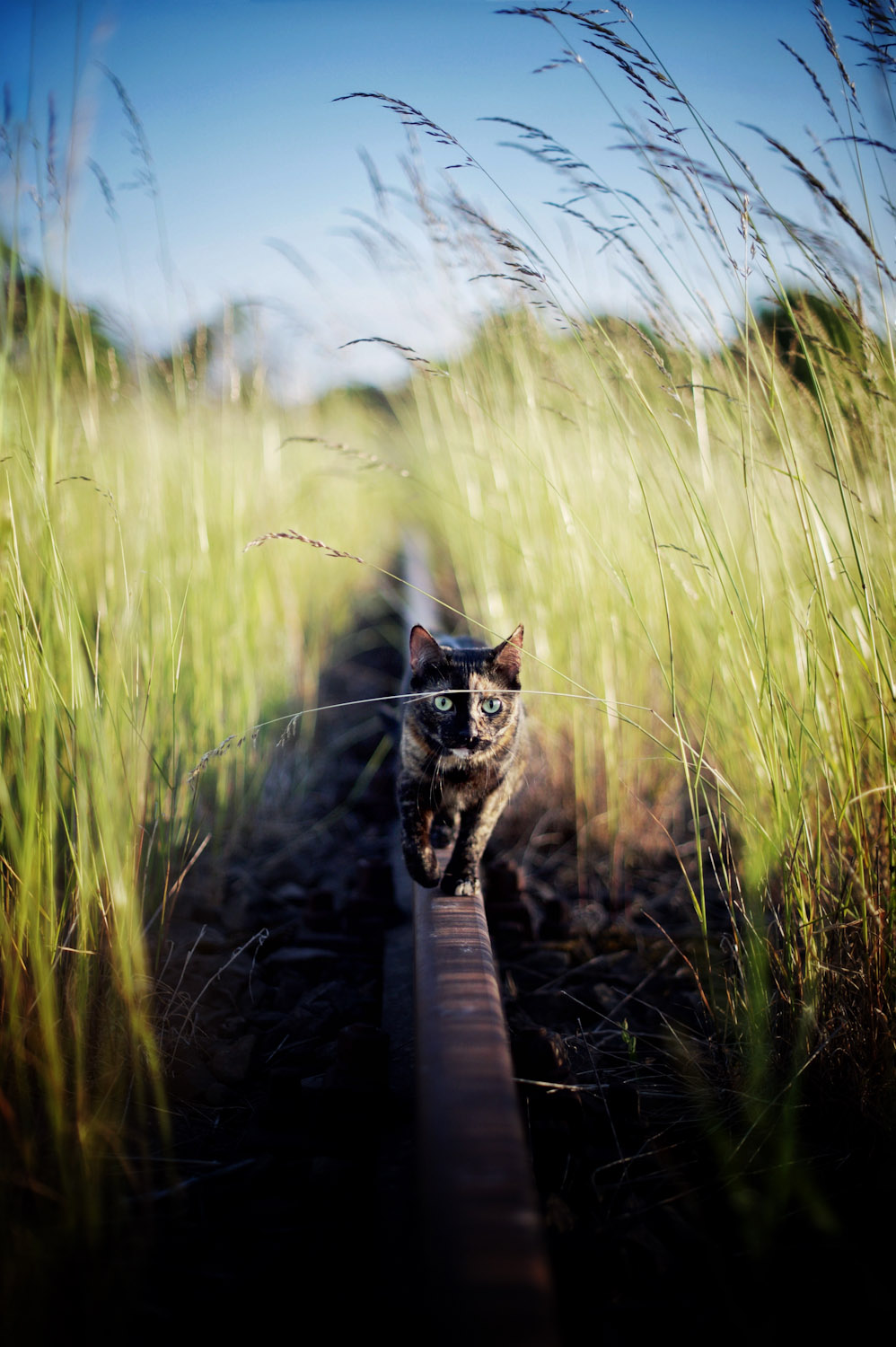 cat walking through tall grass