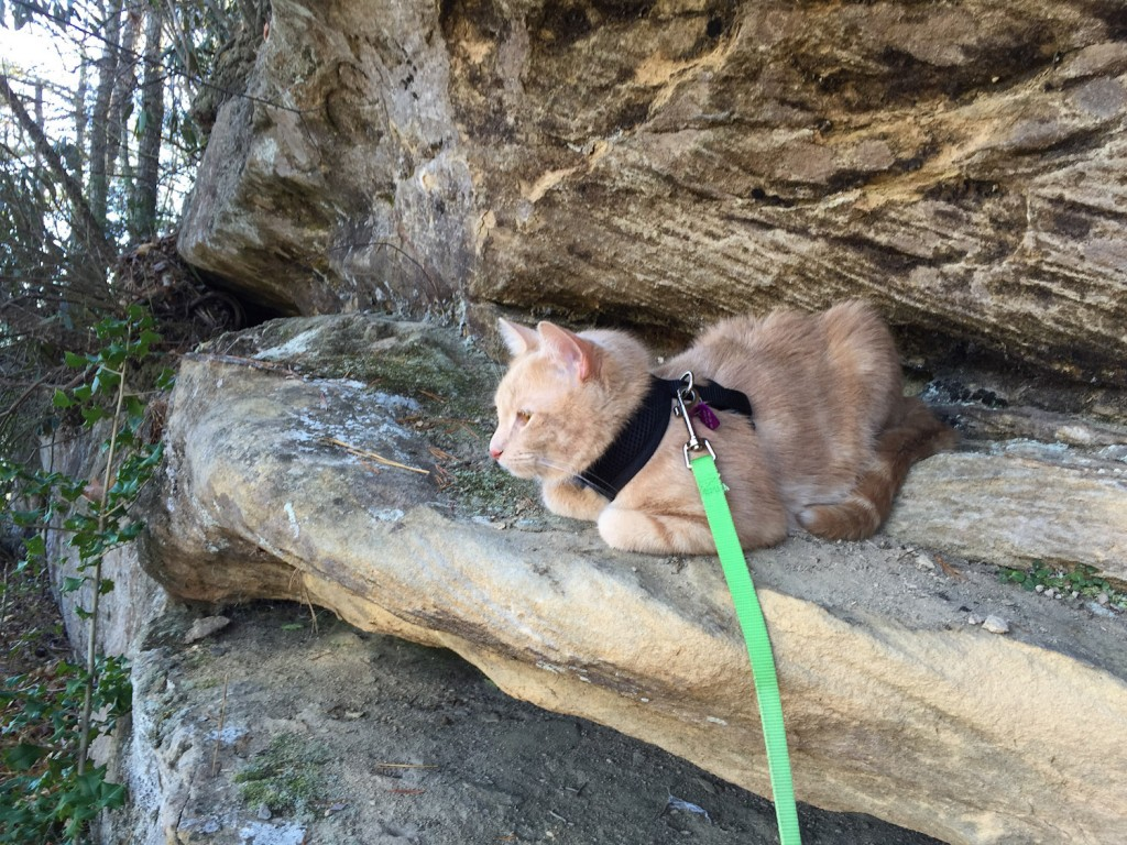 cat on leash in mountains
