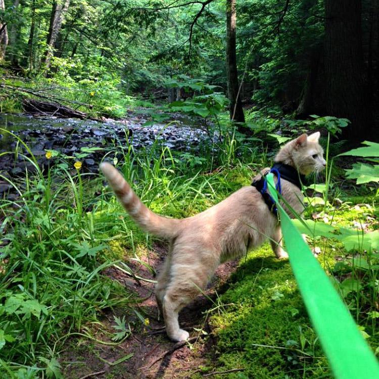 Mango the cat on hike