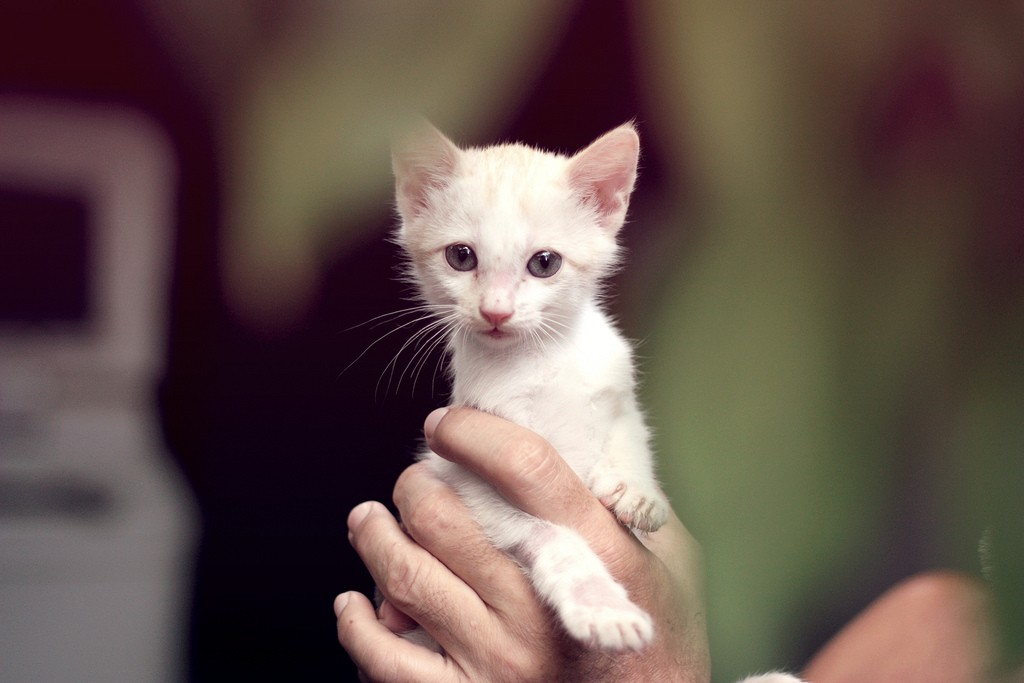 hands holding white kitten