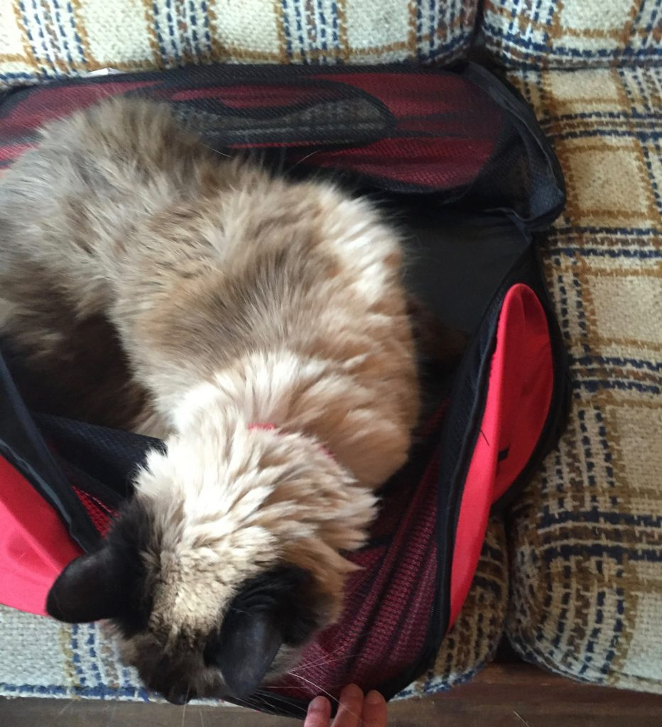 Cat getting out of carrier