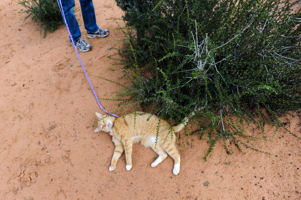 cat on leash lying in dirt