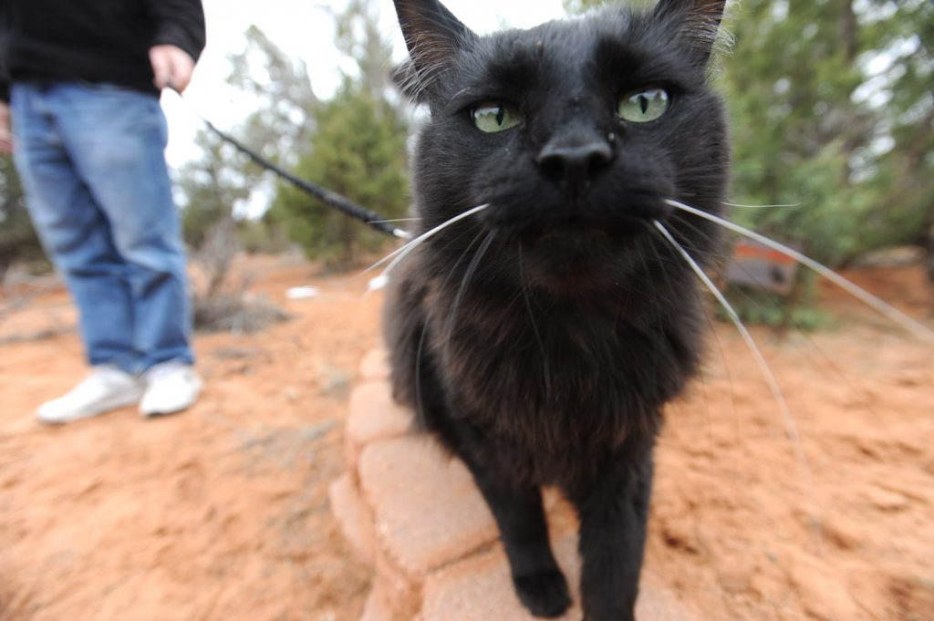 black cat walking on leash