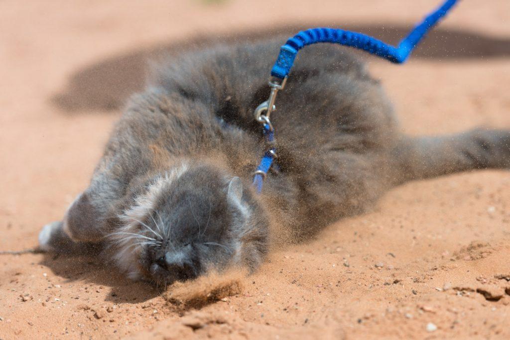 cat on leash rolling in dirt