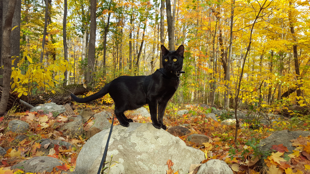 Sirius Black Cat perches on a rock in the woods