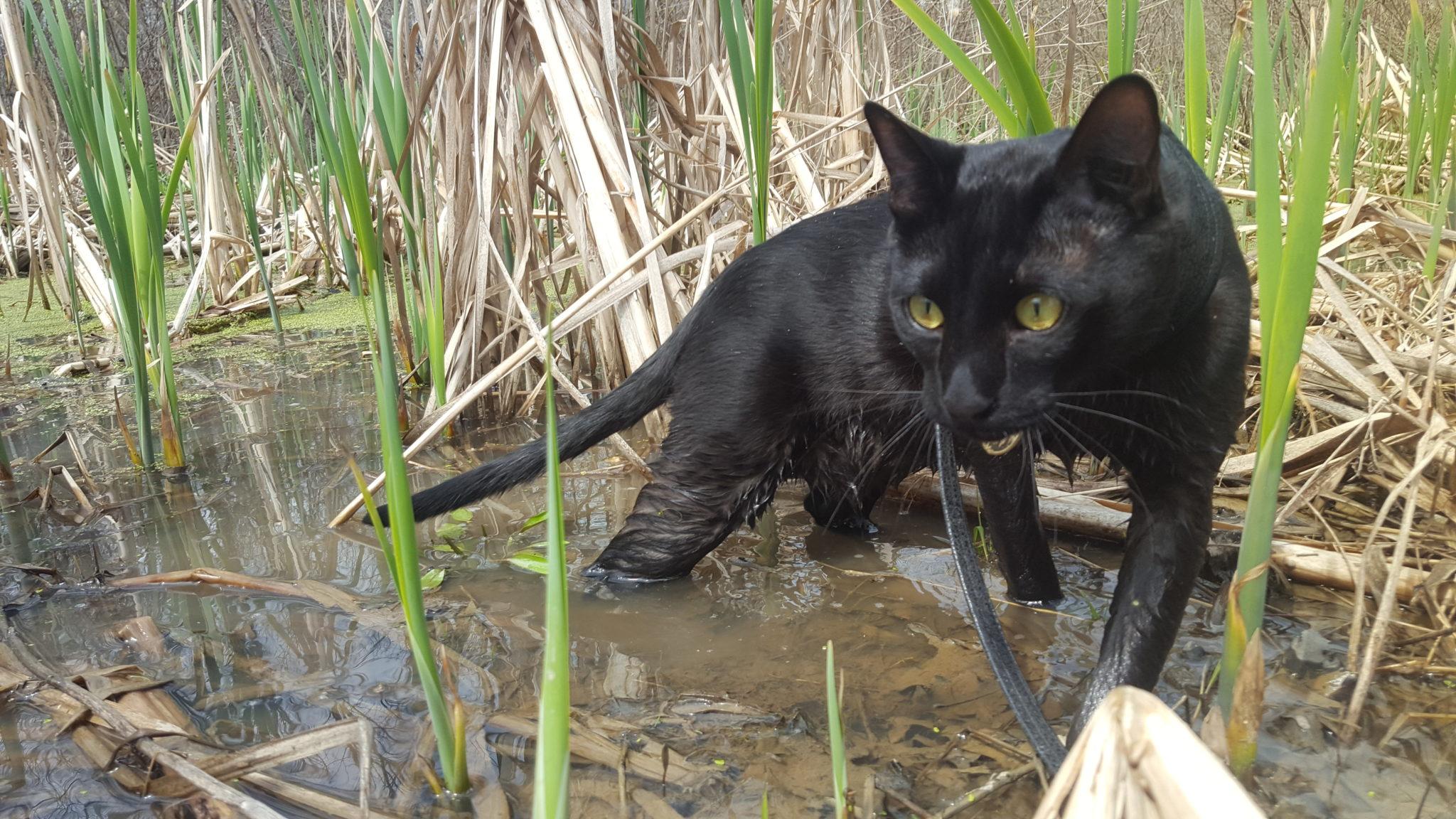 Sirius Black adventure cat walks through water