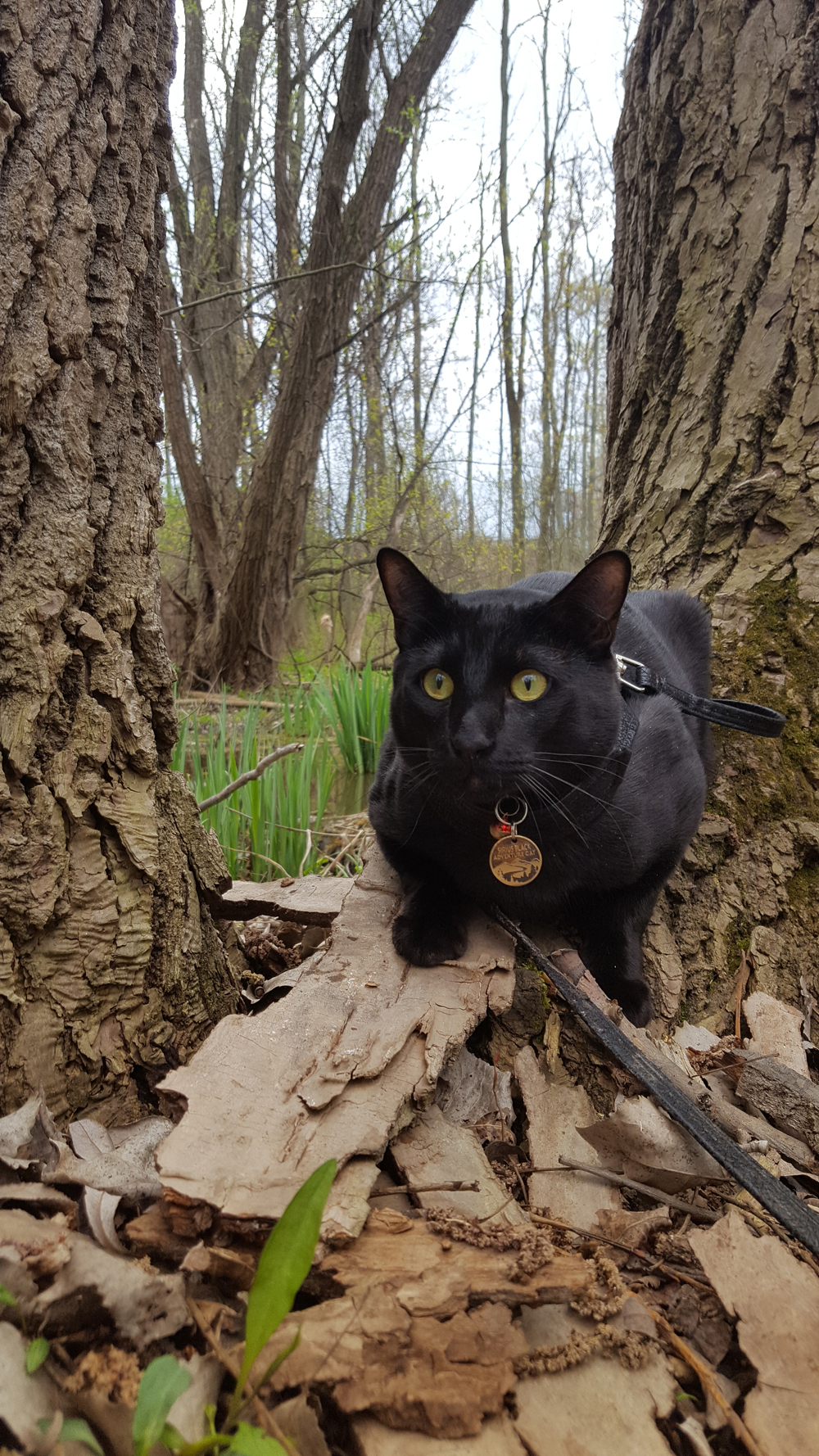Sirius Black is on the prowl in the woods.