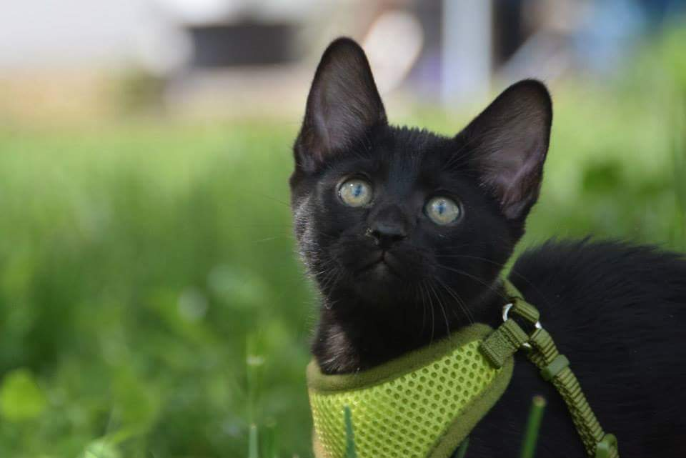 Even when he was a kitten, Sirius knew he'd be an adventurer. 'I started Sirius Black in a harness as soon as I could,' Dominguez said.