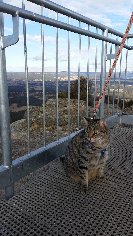 Yoshi cat in harness