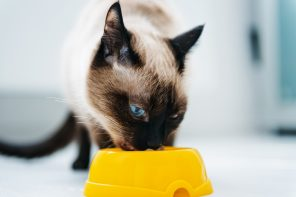 Siamese cat eating food from bowl