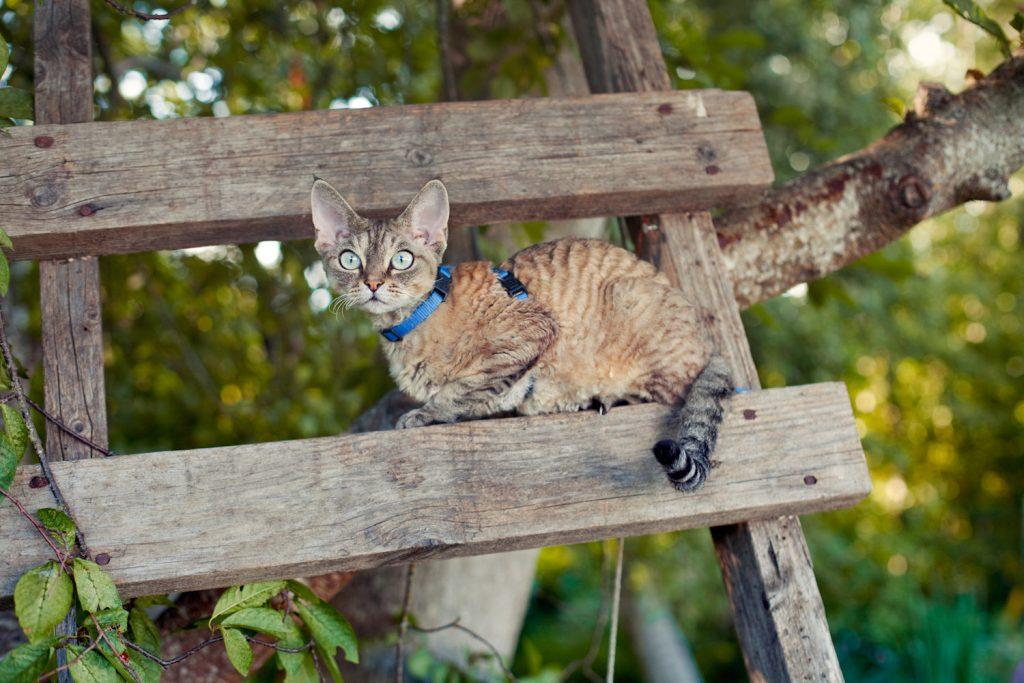 devon rex cat wearing leash