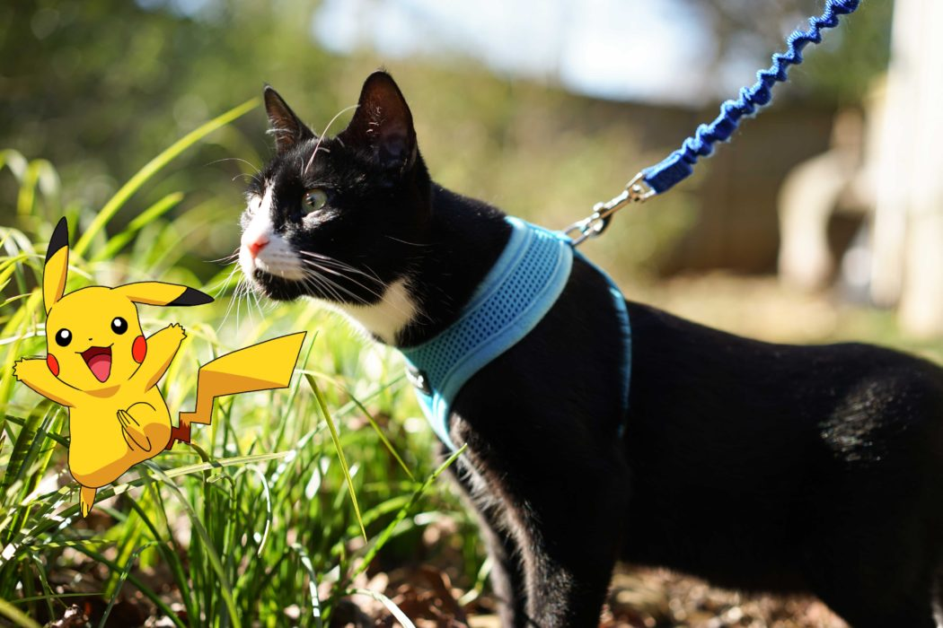 leashed cat sniffing Pikachu