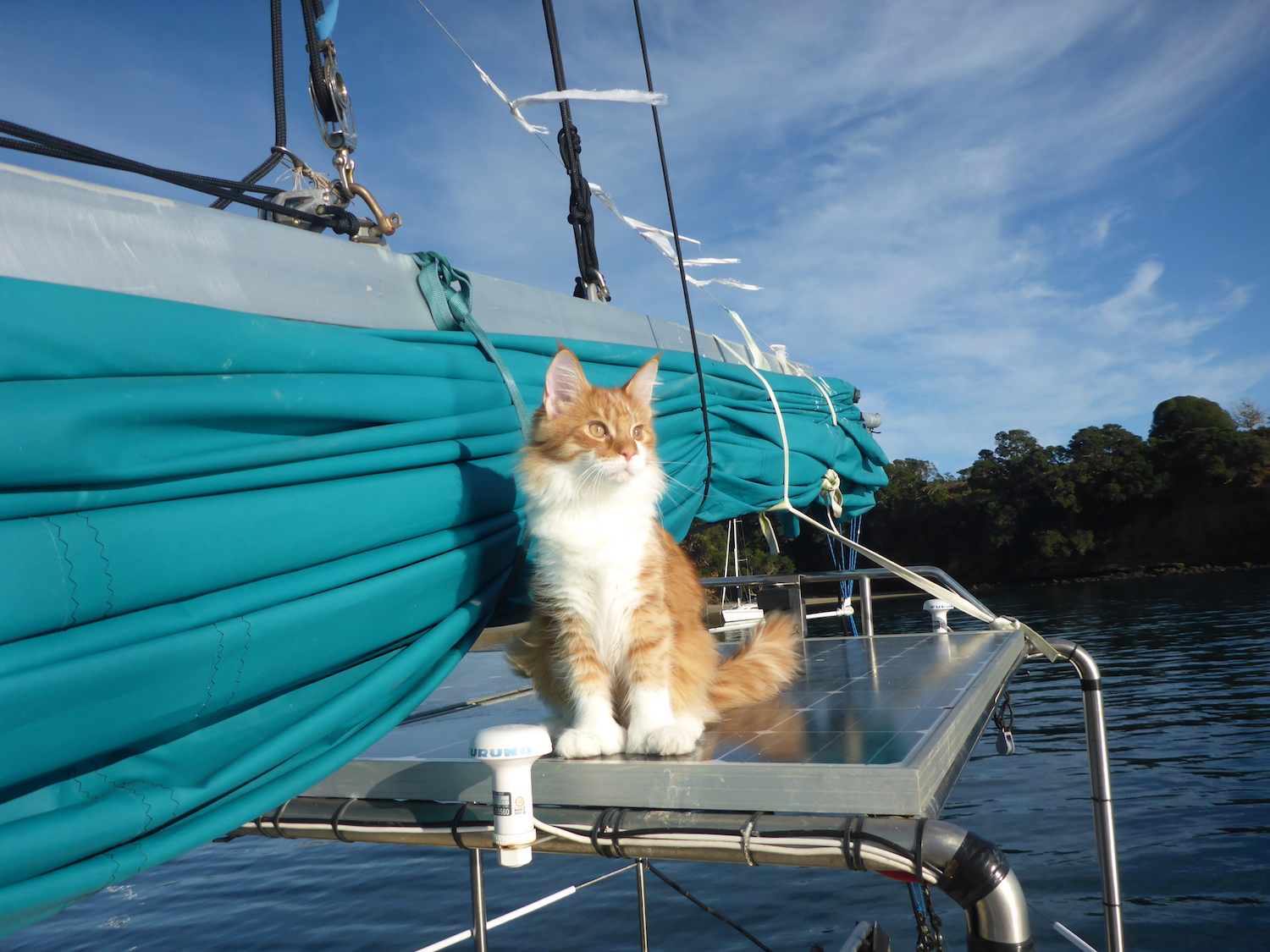 Maine Coon Acts As Deaf Sailor S Ears At Sea Adventure Cats