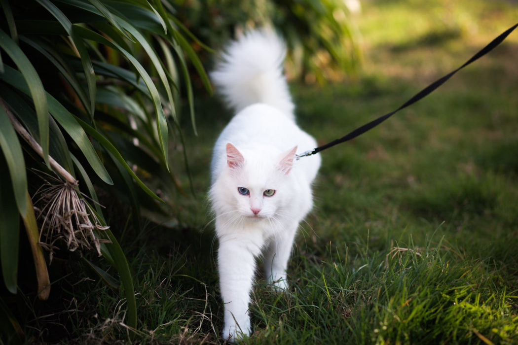 white angora cat on leash