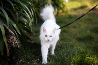 white angora cat on leash