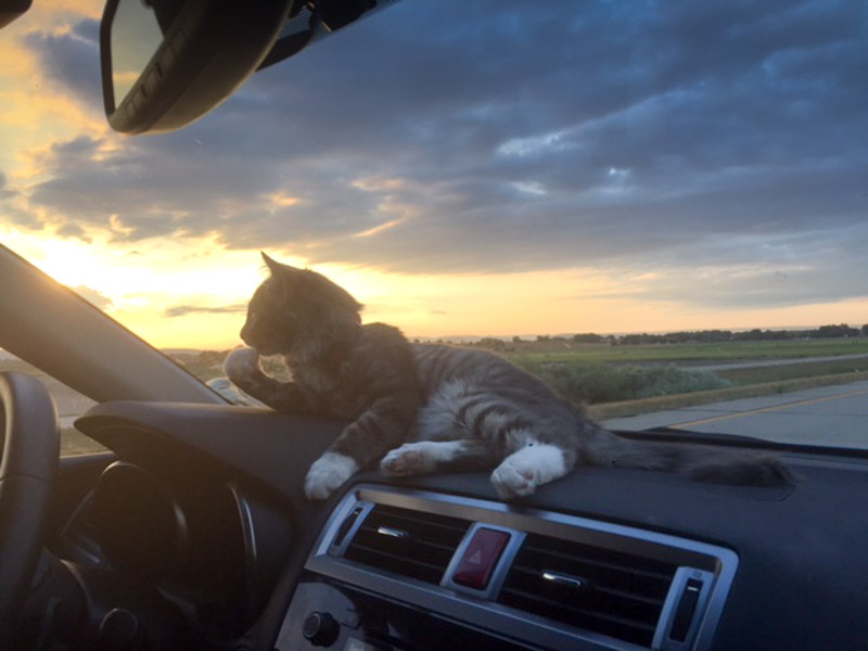 Headed to his next adventure, Denali grooms himself on the dashboard.