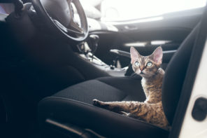 cat left alone in car