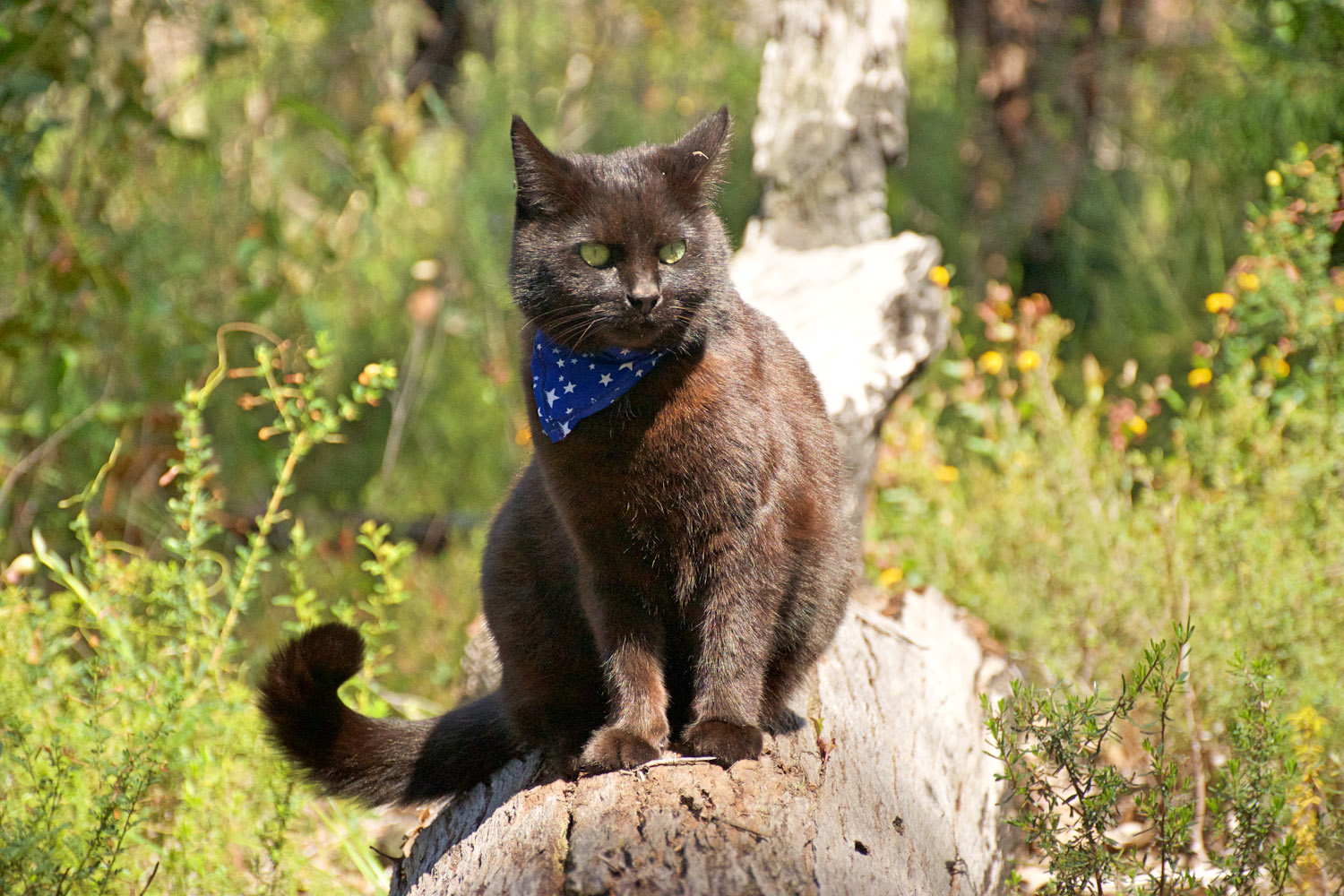 Willow van cat in bandana