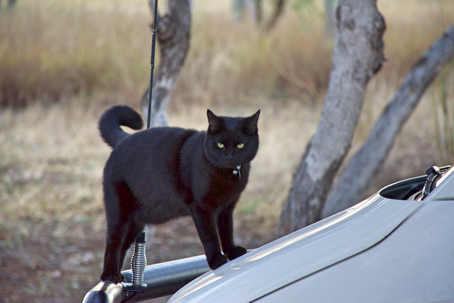 black cat on van