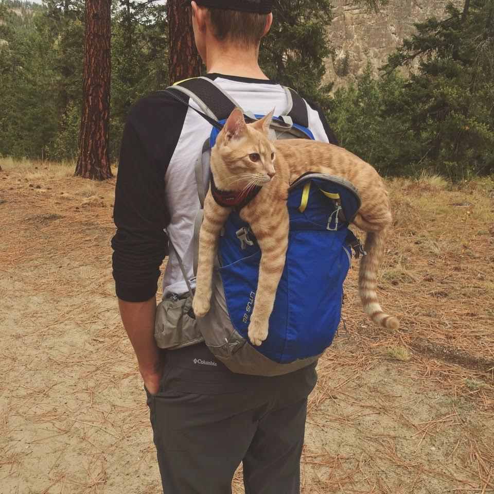 large orange cat riding on backpack