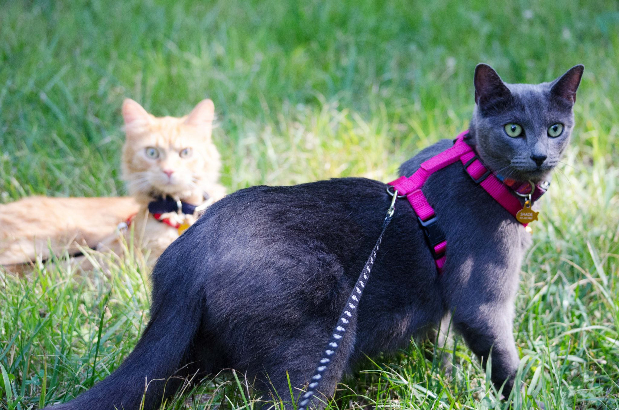 Cats Shade and Simba lounge in the grass