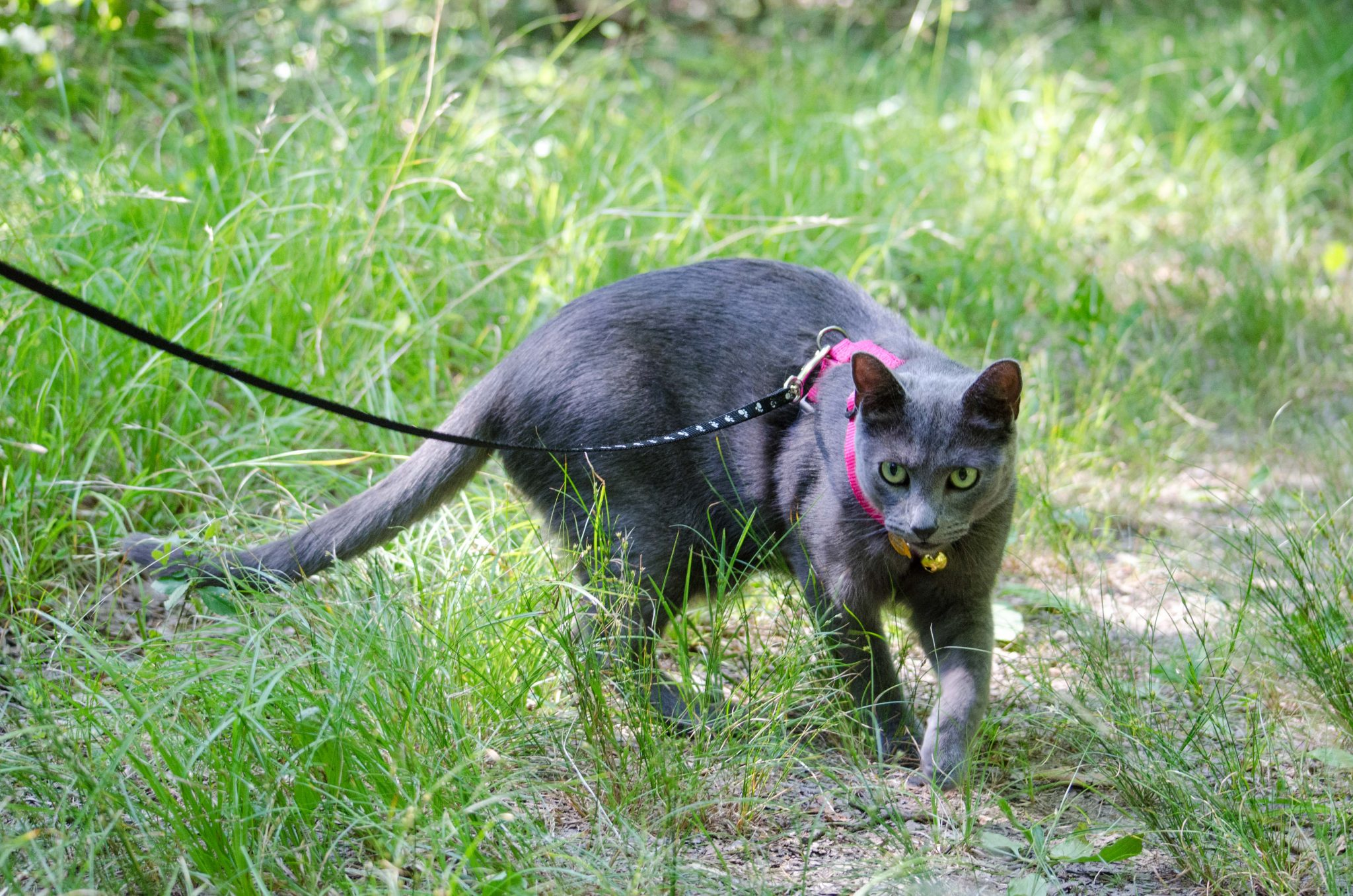 Shade the cat on a leash