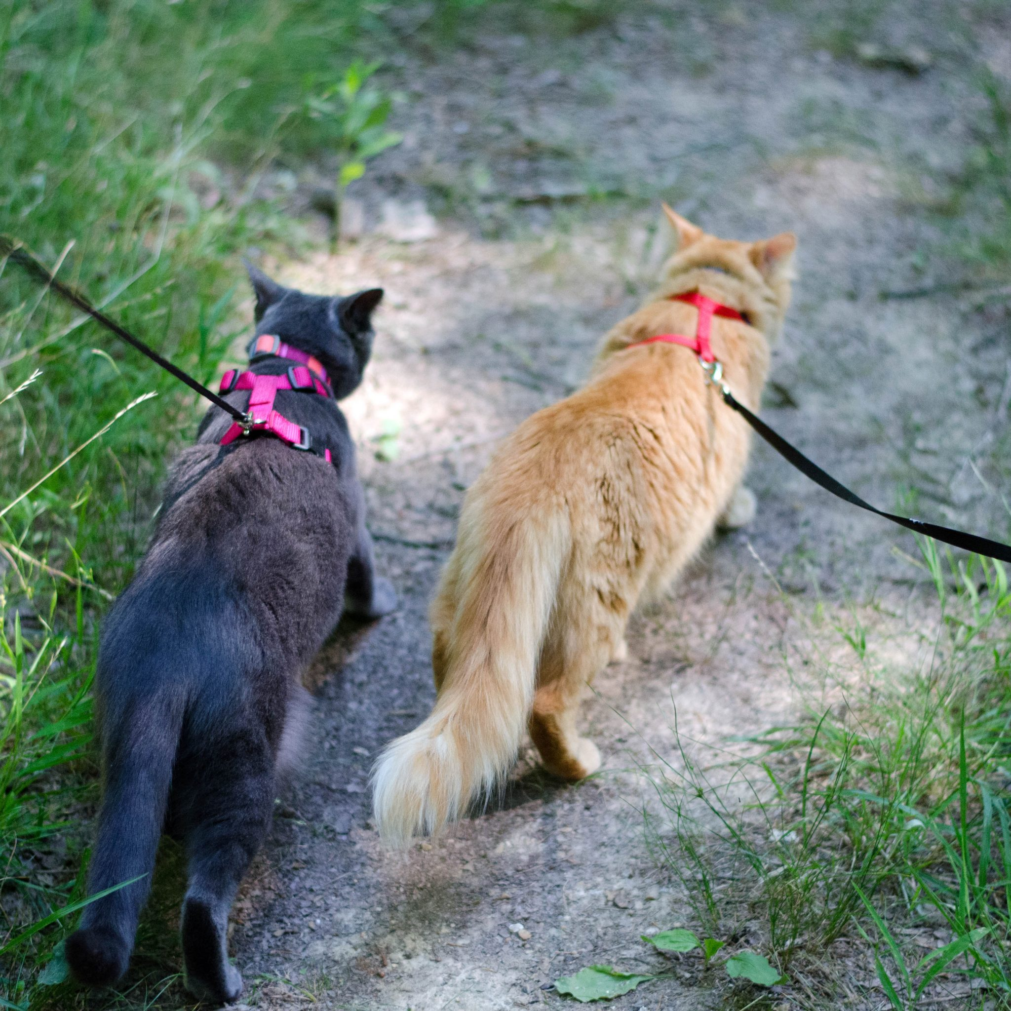 Shade the cat and her brother Simba go walking on leashes