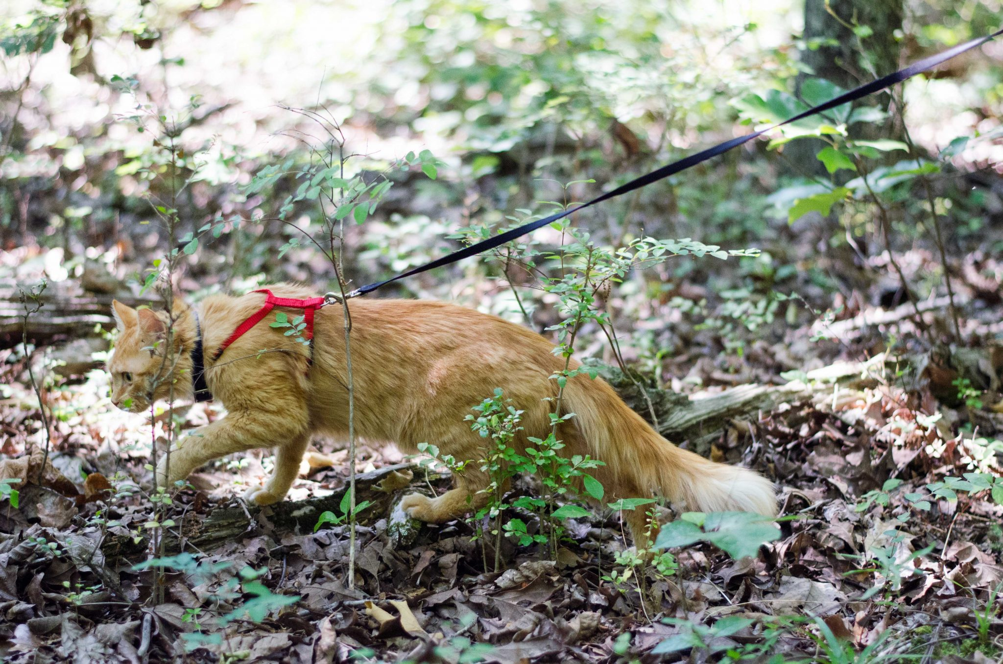 Simba the cat walks on a leash