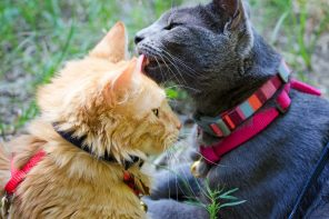 Gray cat licks orange cat
