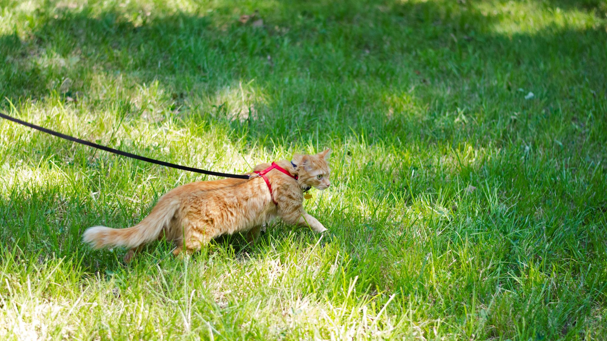 Orange cat walks on leash