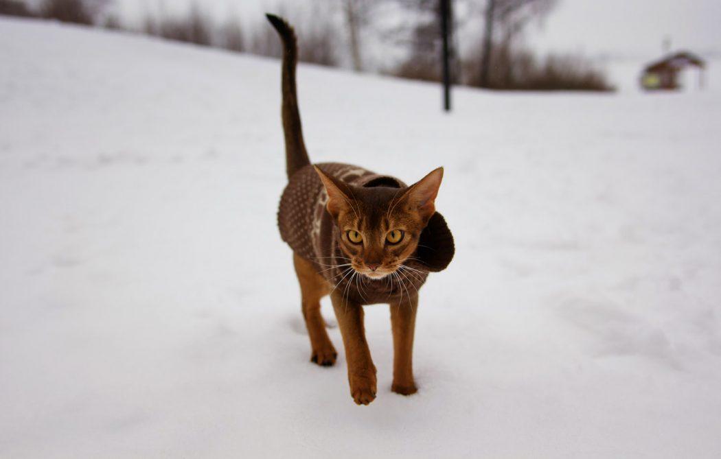 Abyssinian cat wearing winter coat in snow