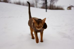 Abyssinian cat wearing winter coat in snow