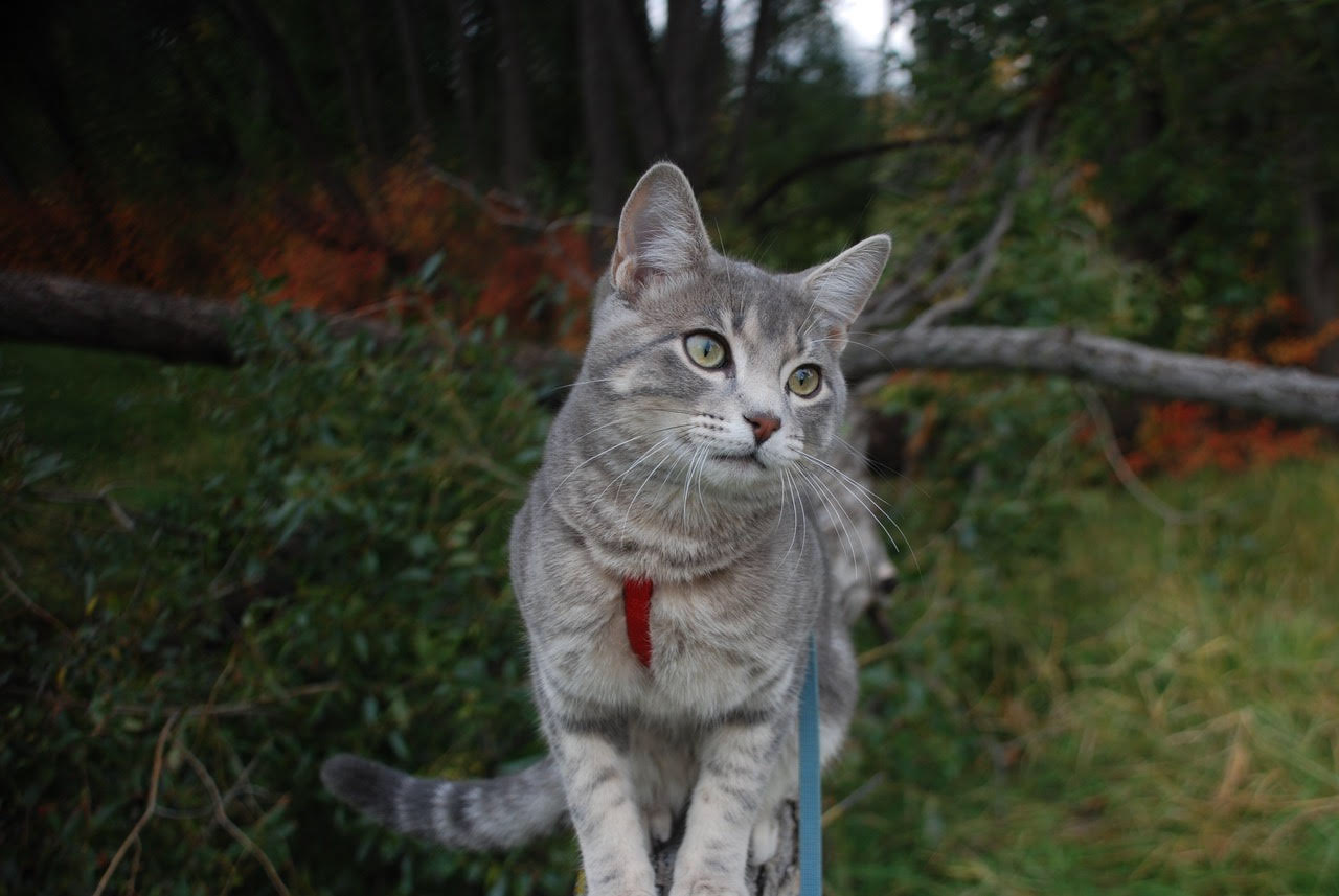 Koda the adventure cat