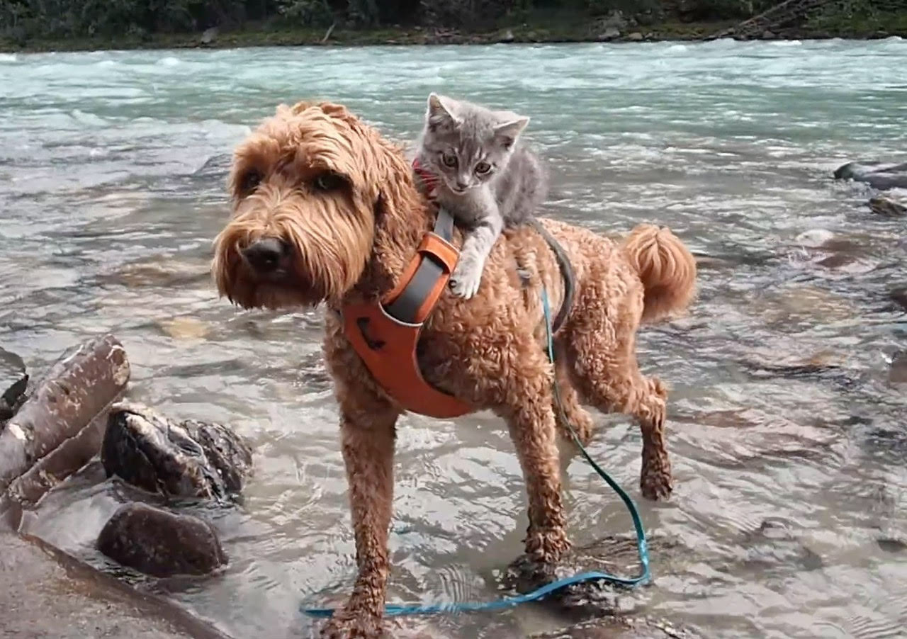 cat riding on dog's back