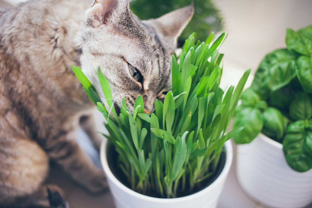 cat nibbling on indoor grass