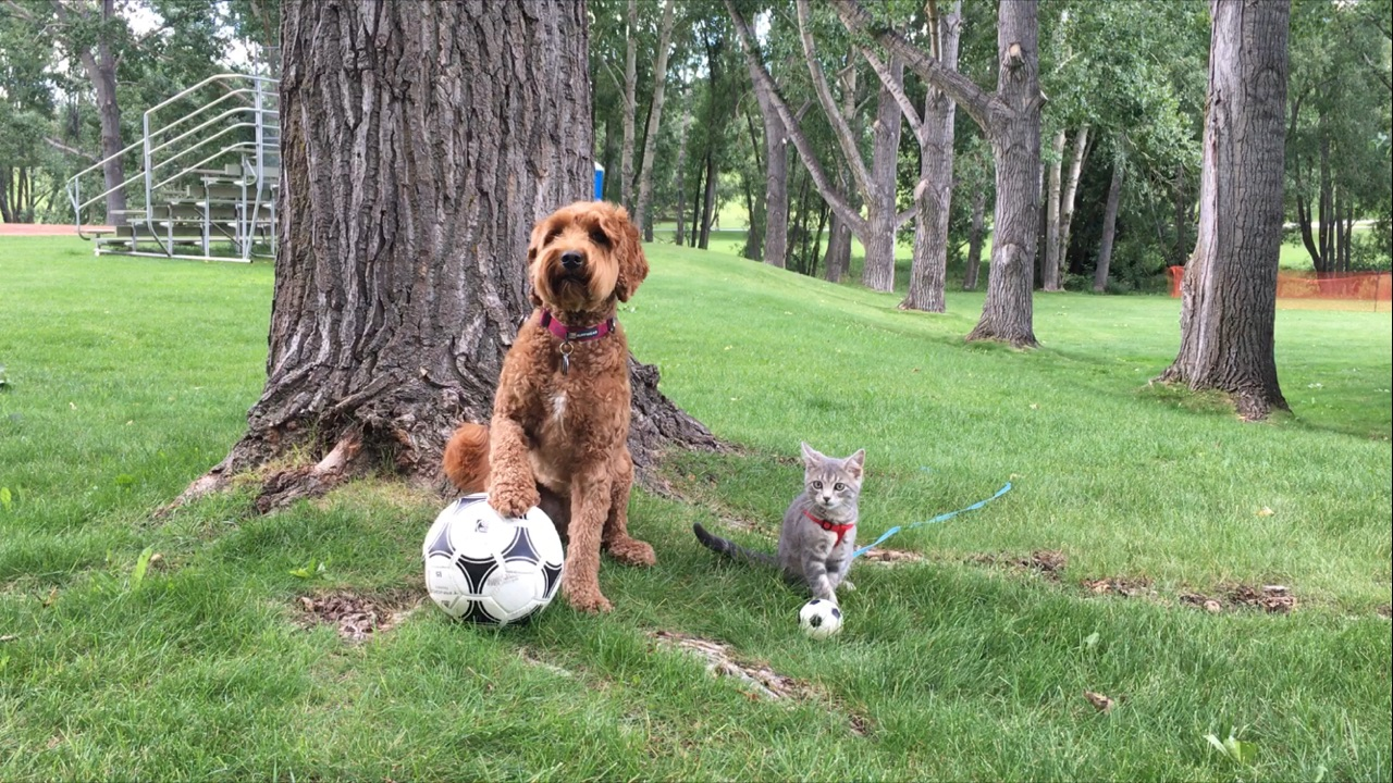 cat and dog with soccer balls