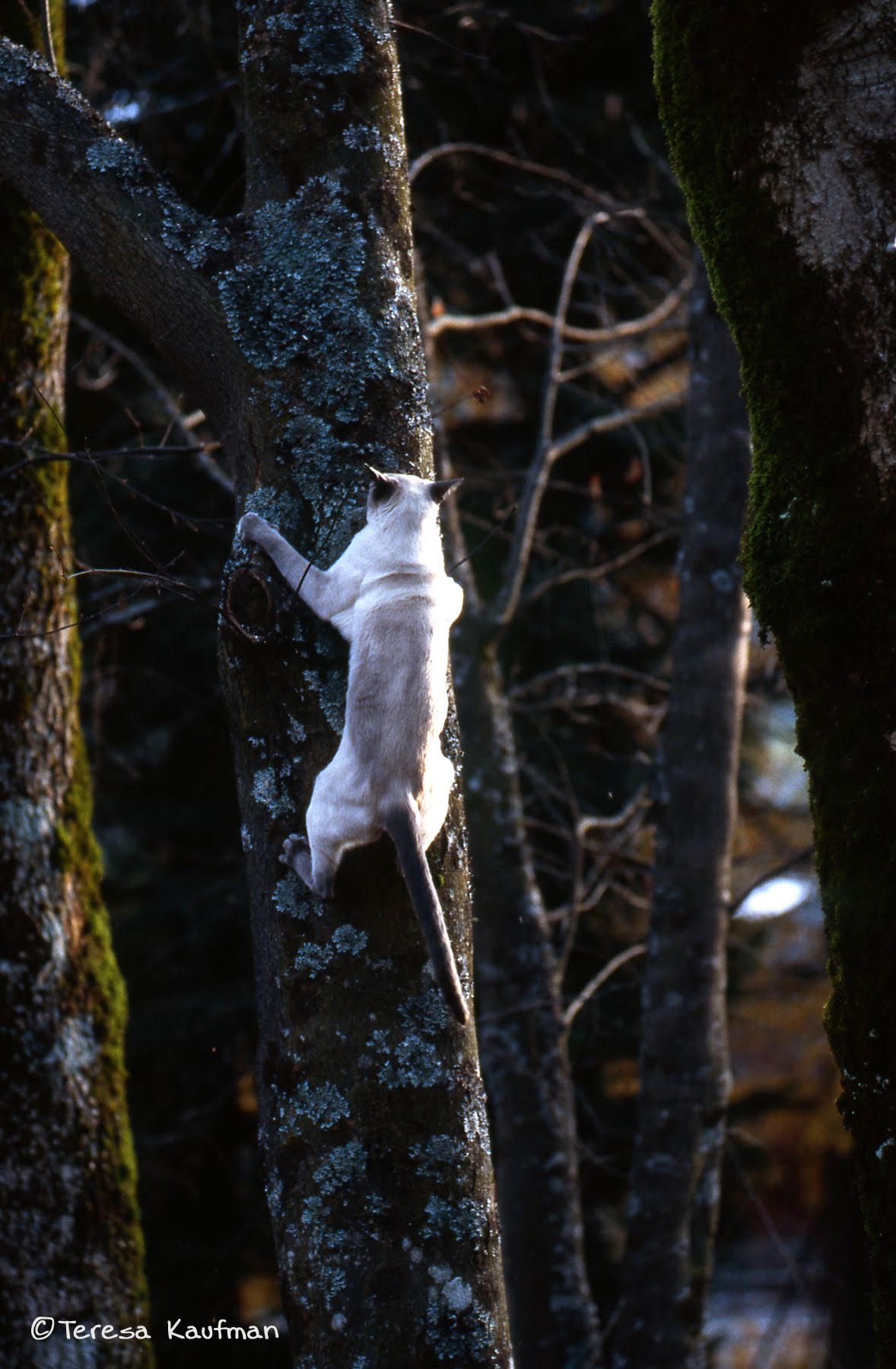Siamese cat climbing tree
